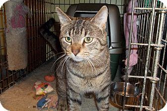 Domestic Shorthair Cat for adoption in Acme, Pennsylvania - Hopkins