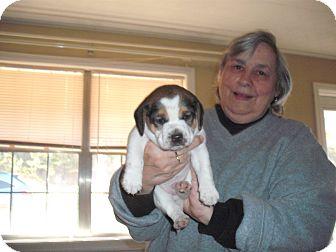 Jack Russell Terrier/St. Bernard Mix Puppy for adoption in Russellville, Arkansas - Spike