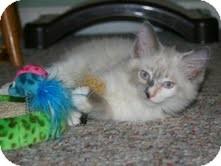 Birman Kitten for adoption in Arlington, Virginia - Phoebe