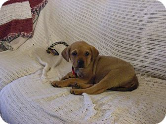 Shepherd (Unknown Type)/Retriever (Unknown Type) Mix Puppy for adoption in Wappingers, New York - State pups