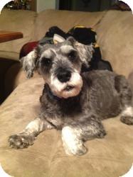 Schnauzer (Standard) Mix Dog for adoption in North Benton, Ohio - Joey