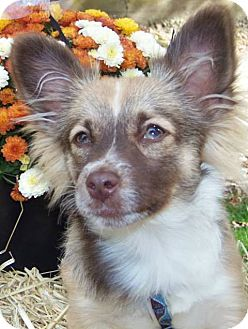 Chihuahua/Papillon Mix Puppy for adoption in Manchester, Connecticut - Candy