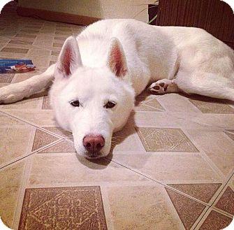 Husky Dog for adoption in Nashua, New Hampshire - Ivy