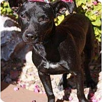 Adopt A Pet :: Gordita - Gilbert, AZ