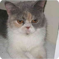 Adopt A Pet :: Velma - Beverly Hills, CA