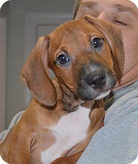Dachshund Mix Puppy for adoption in Glenburn, Maine - Chester-adoption in progress