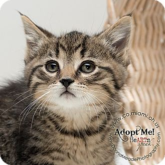 Domestic Shorthair Kitten for adoption in Troy, Ohio - Leonard-ADOPTED