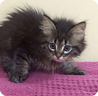 American Shorthair Kitten for adoption in Kansas city, Missouri - Kittens!!!