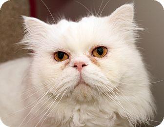 Persian Cat for adoption in Royal Oak, Michigan - HAMISH