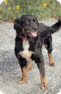 Australian Shepherd/English Shepherd Mix Dog for adoption in Marietta, Georgia - Curly