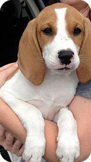 Basset Hound/Coonhound (Unknown Type) Mix Puppy for adoption in Barnegat, New Jersey - Scotty