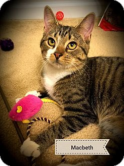 American Shorthair Cat for adoption in Tega Cay, South Carolina - Macbeth