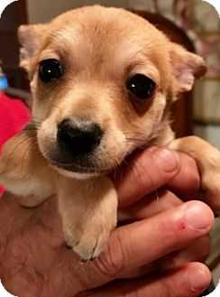 Cairn Terrier/Terrier (Unknown Type, Small) Mix Puppy for adoption in ST LOUIS, Missouri - VIOLET (2)