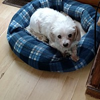 Adopt A Pet :: Ryder Maltese - Matthews, NC