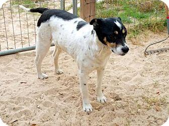 Cairn Terrier/Cattle Dog Mix Dog for adoption in San Antonio, Texas - Ben