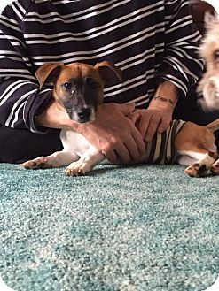 Jack Russell Terrier Mix Puppy for adoption in Blue Bell, Pennsylvania - Max