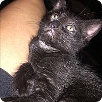 Adopt A Pet :: Gamora - Sterling Hgts, MI