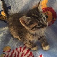Adopt A Pet :: Tabby Boy - Hampton, VA