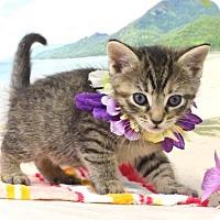 Domestic Shorthair Kitten for adoption in Harrisonburg, Virginia - Sol