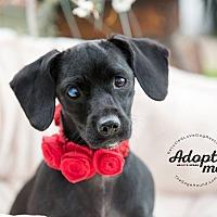 Dachshund Puppy for adoption in Inland Empire, California - LILAC