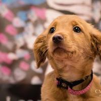 Adopt A Pet :: Blossom - Madison, GA