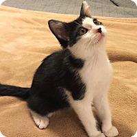 Adopt A Pet :: Myca - Little Rock, AR
