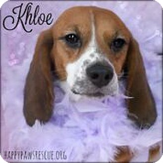 Beagle Dog for adoption in South Plainfield, New Jersey - Khloe