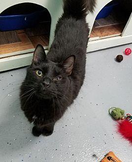 Domestic Shorthair Cat for adoption in Elyria, Ohio - Tuco