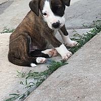 Adopt A Pet :: Belle - Albuquerque, NM
