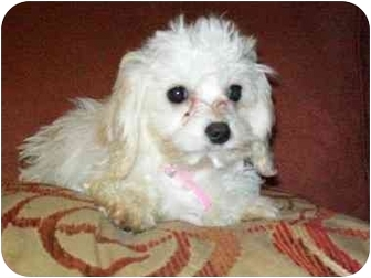 Cavalier King Charles Spaniel/Bichon Frise Mix Puppy for adoption in Flint, Michigan - Sophie