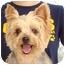 Photo 1 - Yorkie, Yorkshire Terrier Dog for adoption in Baton Rouge, Louisiana - Sugar
