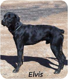 Rottweiler Mix Dog for adoption in Divide, Colorado - Elvis
