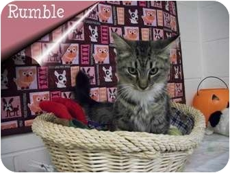 Maine Coon Cat for adoption in Ozark, Alabama - Rumble