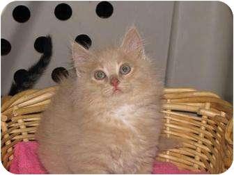 Domestic Mediumhair Kitten for adoption in Roseville, Minnesota - Buffy and Sissy
