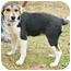 Photo 2 - Corgi/Beagle Mix Puppy for adoption in Westport, Connecticut - *Angela - PENDING