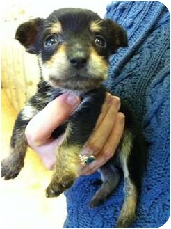 Manchester Terrier Mix Puppy for adoption in Dallas, Texas - Mouse