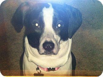 Labrador Retriever/Springer Spaniel Mix Dog for adoption in Massillon, Ohio - BANDIT