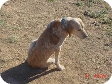 Beagle Mix Dog for adoption in Dundas, Virginia - Rusty - Courtesy Post