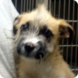 Cairn Terrier Mix Puppy for adoption in Greencastle, North Carolina - Hiram