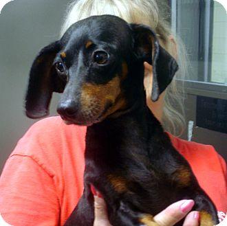 Dachshund Dog for adoption in Greencastle, North Carolina - Lollipop