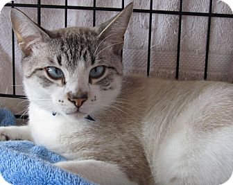 Snowshoe Cat for adoption in Seminole, Florida - Lynx