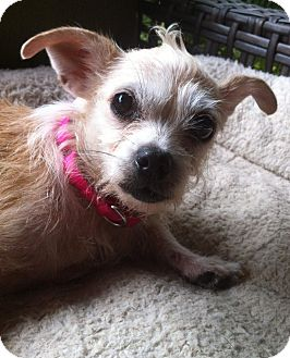 Chihuahua/Wirehaired Fox Terrier Mix Dog for adoption in Nashville, Tennessee - Ragamuffin