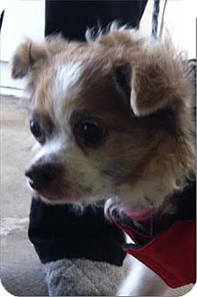 Papillon Mix Dog for adoption in Freeport, New York - Betty