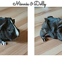 Adopt A Pet :: Minnie & Dolly - Brooklyn Park, MN