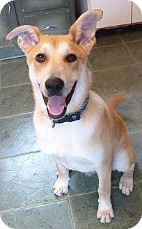 Husky/Labrador Retriever Mix Dog for adoption in Glastonbury, Connecticut - CLINT