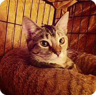 Domestic Shorthair Cat for adoption in Alamo, California - Allie