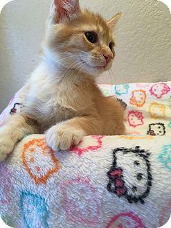 Domestic Shorthair Kitten for adoption in Fountain Hills, Arizona - MAGGIE