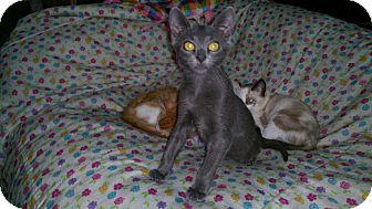 Russian Blue Kitten for adoption in Mission Viejo, California - Eli