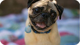 Pug Dog for adoption in Pismo Beach, California - Ralph