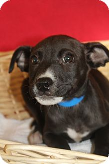 Pointer Mix Puppy for adoption in Waldorf, Maryland - Teagan